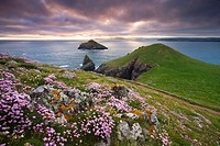 Sea thrift Armeria maritima growing on the Cornish clifftops at The Rumps, looking towards The Mouls, England, United Kingdom, Europe