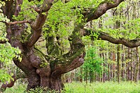 Ancient oak tree growing in Savernake Forest in springtime, Marlborough, Wiltshire, England, United Kingdom, Europe