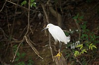 Snowy Egret , Pantanal, Mato Grosso, Brazil / Egretta thula - Ardeidae family - Ciconiiformes Order