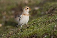 Snow Bunting Plectrophenax nivalis adult, winter plumage, standing on slope, Norfolk, England, february