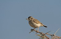 Fawn_coloured Lark Mirafra africanoides adult, perched on twig, Etosha N P , Kunene, Namibia
