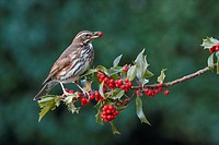 Redwing Turdus iliacus adult, feeding on European Holly Ilex aquifolium berries, Leicestershire, England, january