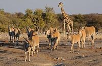 Common Eland Taurotragus oryx herd, with Giraffe Giraffa camelopardalis, approaching waterhole, Etosha N P , Kunene, Namibia