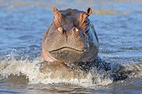 Hippopotamus Hippopotamus amphibius adult, attacking, splashing in water, Chobe N P , Botswana