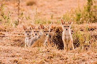 Black_backed Jackal Canis mesomelas five cubs, at den entrance, Masai Mara, Kenya