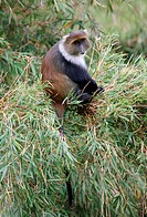 Syke´s Monkey Cercopithecus albogularis adult, sitting in bamboo, Aberdare N P , Kenya, november