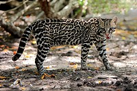Ocelot Leopardus pardalis adult male, standing in dappled shade, Honduras
