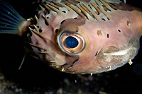 Long_spine Porcupinefish Diodon holocanthus adult, close_up of face, Lembeh Island, Sulawesi, Indonesia