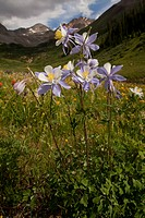 Colorado Blue Columbine Aquilegia coerulea flowering, Rustler´s Gulch, Maroon Bells_Snowmass Wilderness, Rocky Mountains, Colorado, U S A