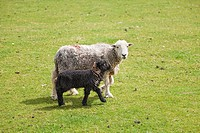 Herdwick Ewe and lamb in a field The Lake District England UK