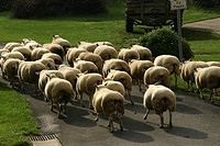 Sheep, Ovis aries, on their way to a stable in a small French village