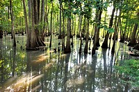 Cypress Swamp, Caverns State Park, Florida