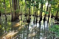 Cypress Swamp, Caverns State Park, Florida