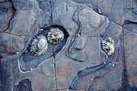 common limpet Patella vulgata  Rocky coast  Gaztelugatxe  Bermeo, Busturialde-Urdaibai county  Biscay, Basque Country, Spain