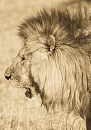 Up close & personal with a male lion in the Mara