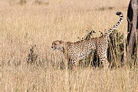 A cheetah scent marking on a tree in the Masai Mara