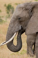 An African elephant up close & personal in Kenya