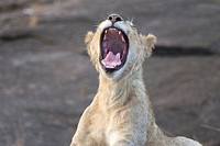A young male lion cub yawns with his mouth wide open