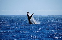 Whale (thumbnail)