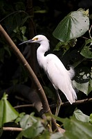 Great egret - Tortuguero (thumbnail)