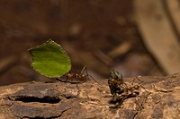 Leaf_cutter ants _ Tortuguero
