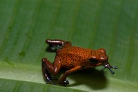 Strawberry Poison_dart frog _ Tortuguero