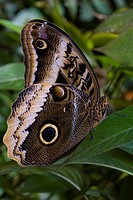 Owl Butterfly _ Puerto Viejo