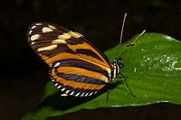 Tiger Longwing butterfly _ La Fortuna
