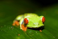 Red eyes tree frog _ La Fortuna