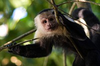 White headed Capucin monkey _ Corcovado
