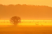 Male and female roe deer in morning dust, Capreolus capreolus, Lower Saxony, Germany, Europe