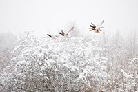 Mallard Duck Anas platyrhynchos adult males and female, in flight during snowfall, Reddish Vale Country Park, Greater Manchester, England, winter