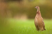 Common Pheasant Phasianus colchicus immature, standing alert in field, Derbyshire, England, july