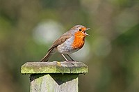 European Robin Erithacus rubecula adult, singing, perched on fencepost, West Sussex, England, april