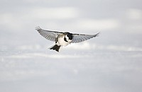 Pied Wagtail Motacilla alba yarrellii adult, in flight, low over snow covered ground, Derbyshire, England, february