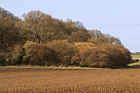 View of woodland at edge of farmland, hazel on outer edge with oak in middle, Wool, Dorset, England, march