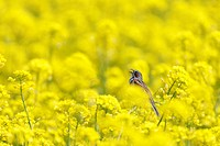 A sparrow singing in a field of oilseed rape blossoms. Iiyama, Nagano Prefecture, Japan
