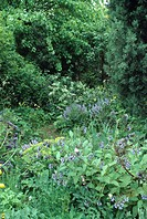 Comfrey growing in wild country garden