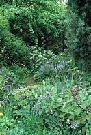 Comfrey growing in wild country garden