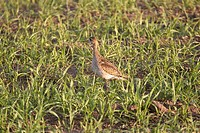 southern, sandpiper, scenic, ground, shorebird, upland
