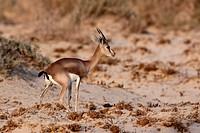 Israel, Negev Desert, Dorcas Gazelle Gazella dorcas, also known as the Ariel Gazelle September 2009