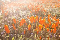 California, Lancaster, Vibrant field of California Poppies Eschscholzia