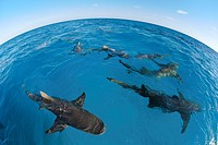 Bahamas, West End, lemon sharks Negaprion brevirostris circle around a boat with bait.