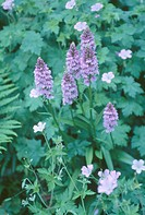 Close up of mauve dactylorhiza Maculata and geraniums