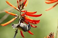 Animal, Bird, Cambacica, Sugar_bowl has Yellow Stomach, Aclimação Park, São Paulo, Brazil