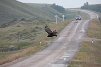 vulture, road, paved, flight, turkey
