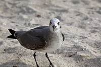 larus, gull, usa, florida, beach, laughing