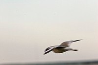 saskatchewan, willet, southern, scenic, flight, young