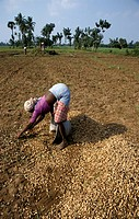groundnuts, people, harvesting, india, person, woman