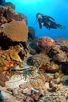 Diver and Lobster, Caribbean Sea, Netherland Antilles, Curacao